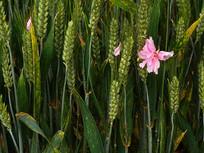 麦穗与樱花