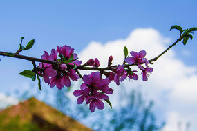 一枝盛开与含苞待放的的桃花