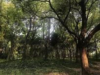 小树林的影子