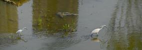 城市湿地的鹭鸶