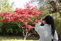枫树下的女孩背影
