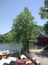 湖水边上的柳树