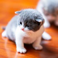 萌宠小奶猫二宝