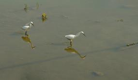 湿地觅食的鹭鸶