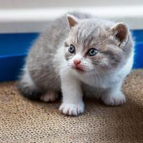 英短蓝虎斑加白-小奶猫大宝