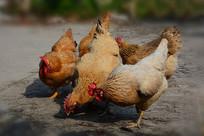 农家自然放养鸡