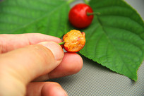 采摘鲜果樱桃