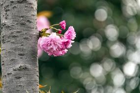 林间一枝樱花开