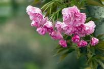 盛开的垂枝大叶早樱