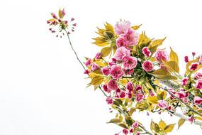 盛开的垂枝樱花
