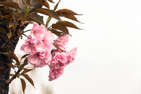 盛开在枝头的八重樱