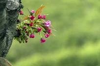 绽放在枝头的丝樱