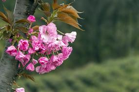枝丫绽放的重瓣樱花