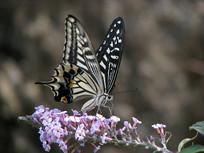 紫色的醉鱼草花朵和柑橘凤蝶