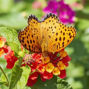 采蜜的豹纹蛱蝶