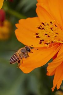 飞向黄色菊花的中华蜜蜂
