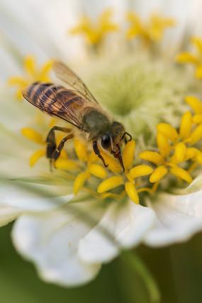黄色花蕾上采食花蜜的中华蜜蜂