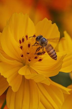 黄色菊花上采食花蜜的中华蜜蜂