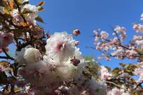 群芳争艳的樱花