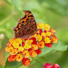 展翅吸食花蜜的豹纹蛱蝶