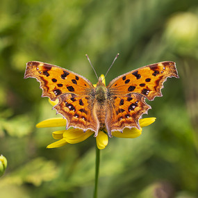 振翅欲飞的豹纹蛱蝶背影