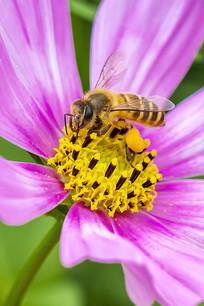 紫色菊花上采食花蜜的中华蜜蜂