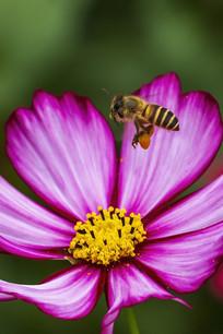紫色菊花上飞舞的中华蜜蜂