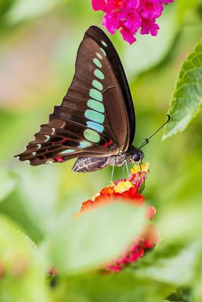 采食花蜜的木兰青凤蝶