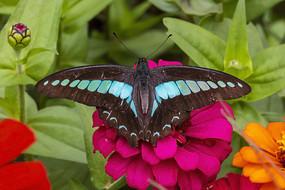 红菊花上休息的木兰青凤蝶背影