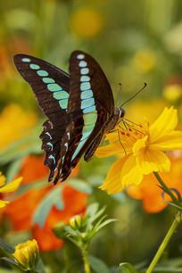 黄菊花上采食花蜜的木兰青凤蝶