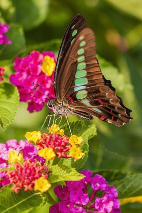 五色梅上采食花蜜的木兰青凤蝶