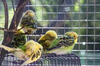 五只虎皮鹦鹉