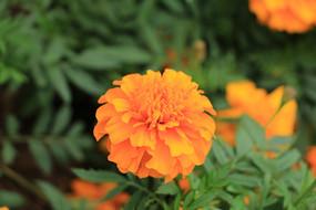 一朵万寿菊