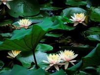 满池莲花与莲叶
