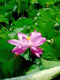 升庵桂湖一朵盛开的粉色荷花