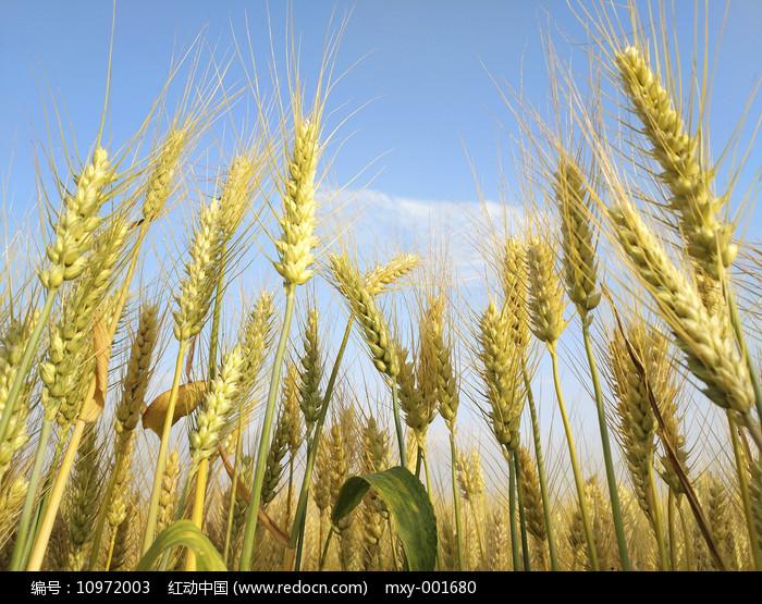 成熟麦子 图片