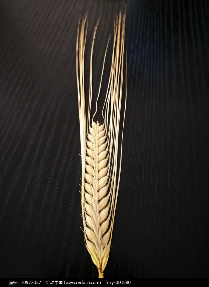 大麦麦穗图片