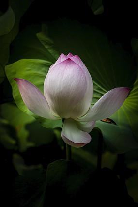 粉白色荷花花苞