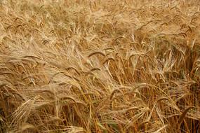 风吹金色麦浪