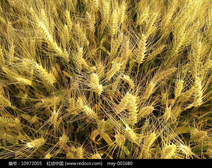 俯拍麦子熟了图片