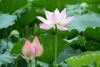 花蕾与荷花
