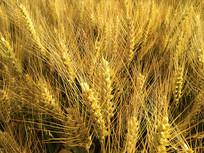 金色麦穗图