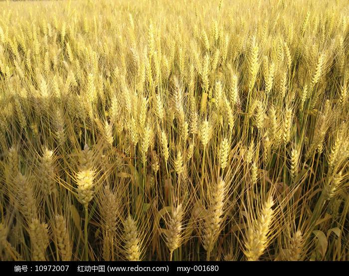 金色麦子熟了图片