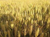 金色麦子熟了