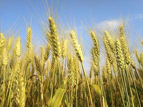 蓝天下的麦子熟了