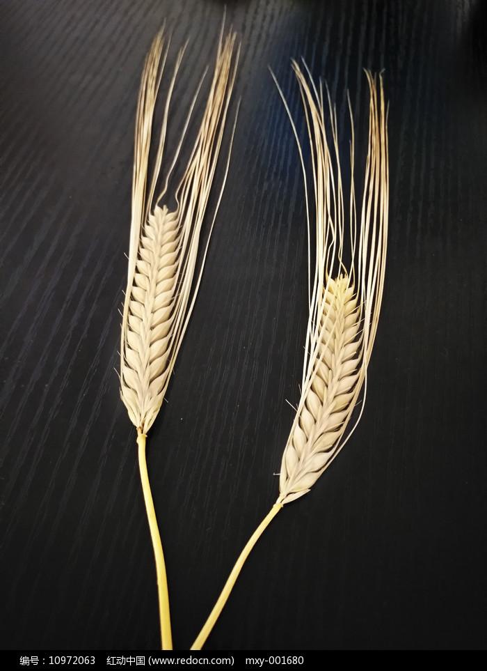 两颗麦穗图片