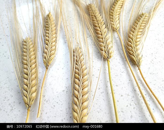麦穗大麦图图片