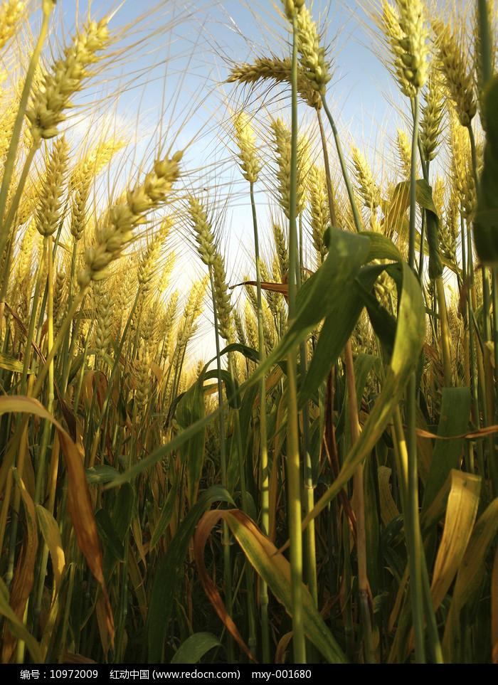 麦子深处图片