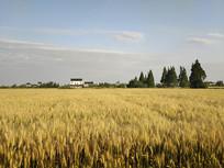 田野麦子熟了