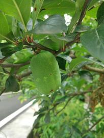 树上的芒果
